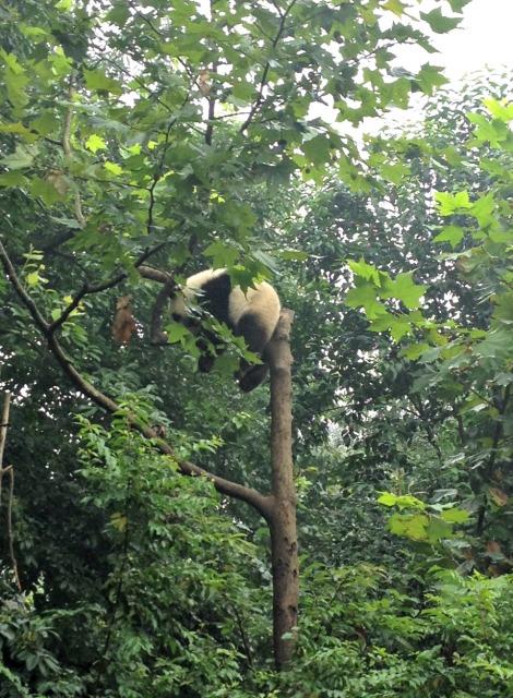 awkward panda