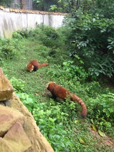 these little red pandas are the opposite of alarming
